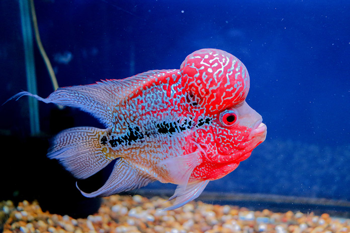 Developed Through Selective Crossbreeding In 1996 The Pority Of Flower Horn Has Been Gaining Momentum By Day Origins This Hybrid Fish