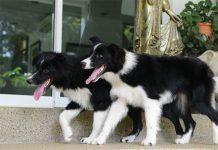 is black dog good feng shui?